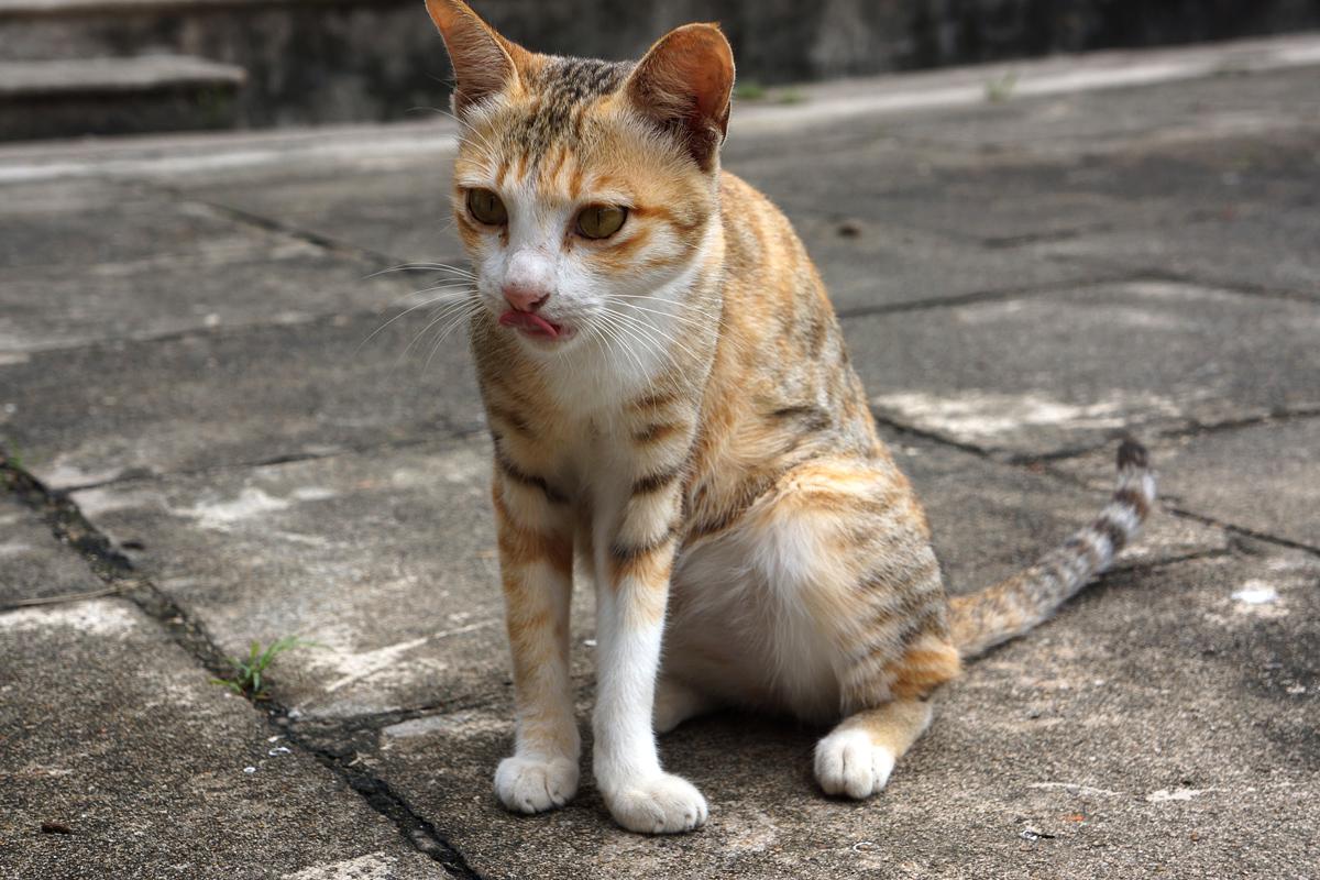 ホイアンの猫