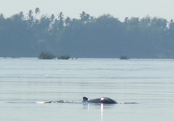 メコン川のイルカ