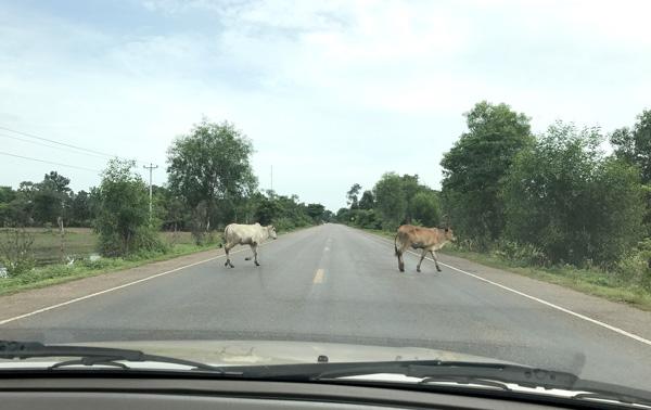 牛の群れが道路を横切る