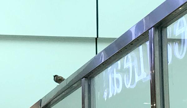 ターミナル内のスズメ